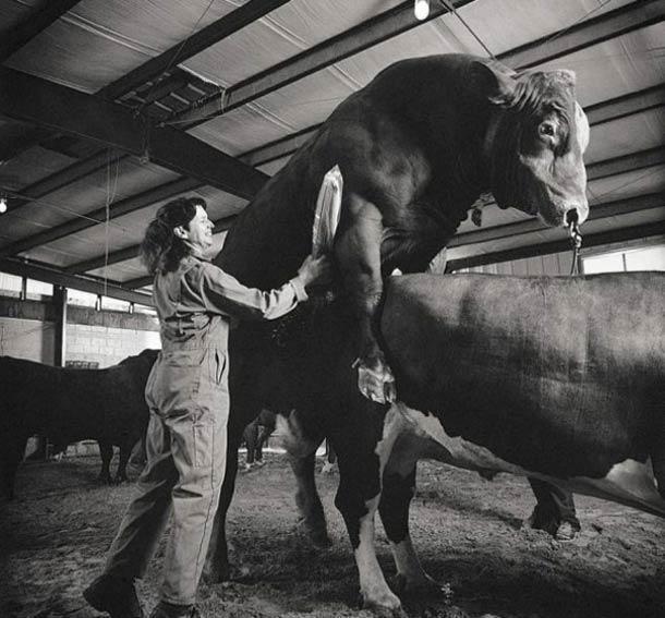 Collecteur de semence de taureau © Nancy Rica Schiff. Tous les droits réservés.