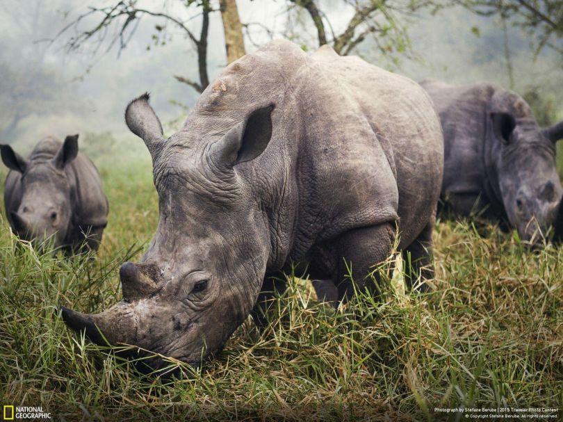 White Rhinos © Stefane Berube. Tous les droits réservés.