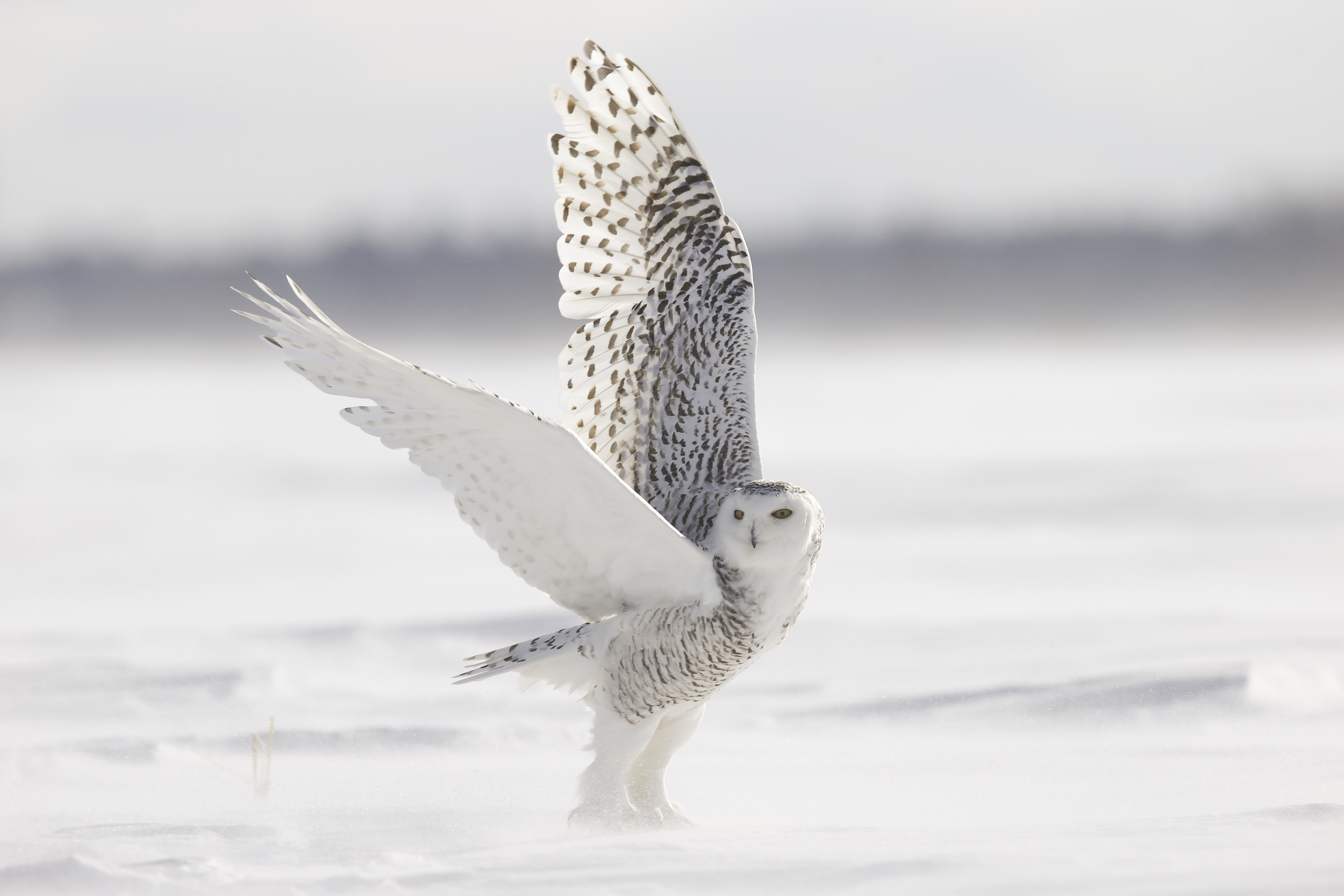 Prêt à attendre Noël ? Canada-Ontario-Chouette-Harfang-des-neiges-Photo-Michel-Rawicki