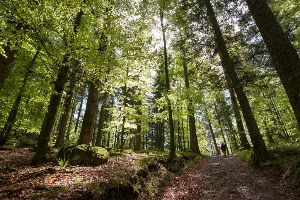 Forêt du Massif des Vosges