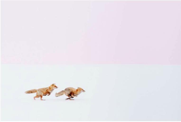 """Première place, catégorie """"nature"""" © Hiroki J'étais terriblement déçu de rentrer d'une journée de promenade sans aucune photo intéressante, jusqu'à ce que j'aperçoive ces deux renards roux au bord d'une route de Biei, un petit village japonais. Ils se courraient après à toute allure, une scène fréquente quand arrive la saison des amours, à la fin de l'hiver."""
